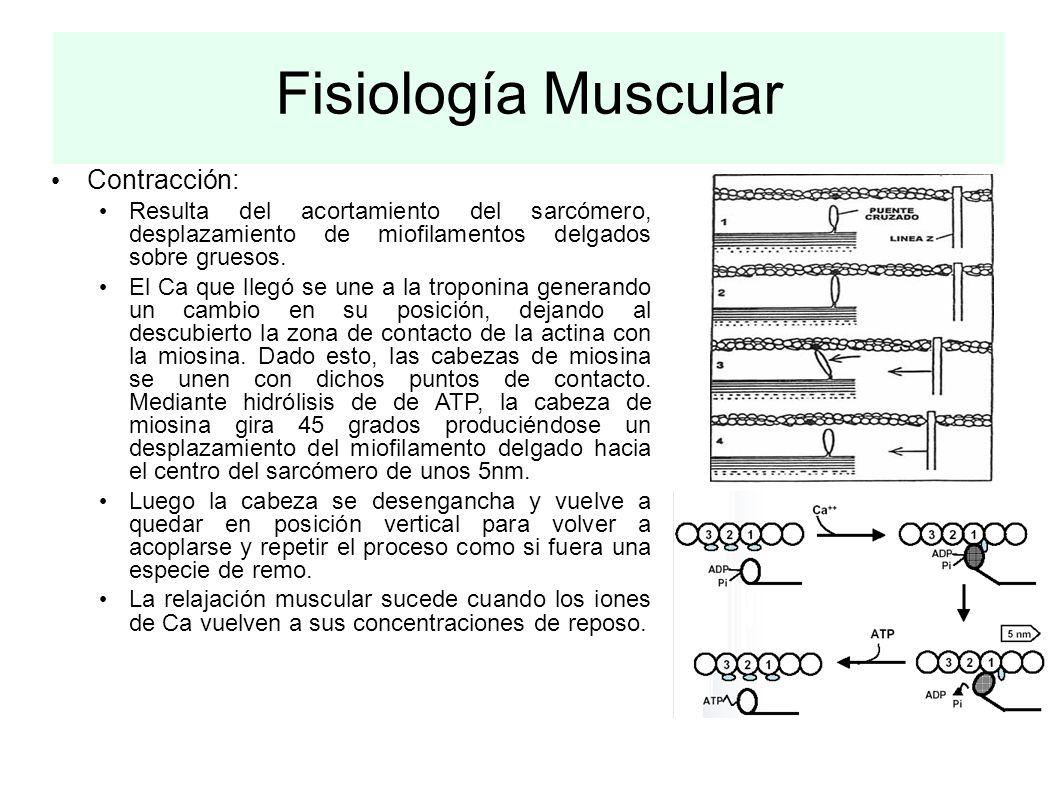 Fisiología Muscular Contracción: