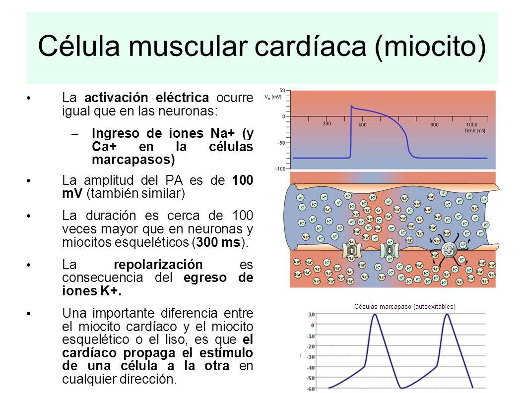Célula muscular cardíaca (miocito)