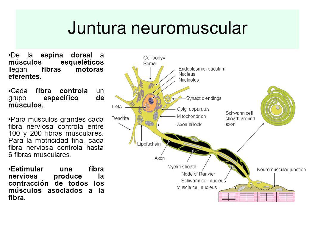 Juntura neuromuscular