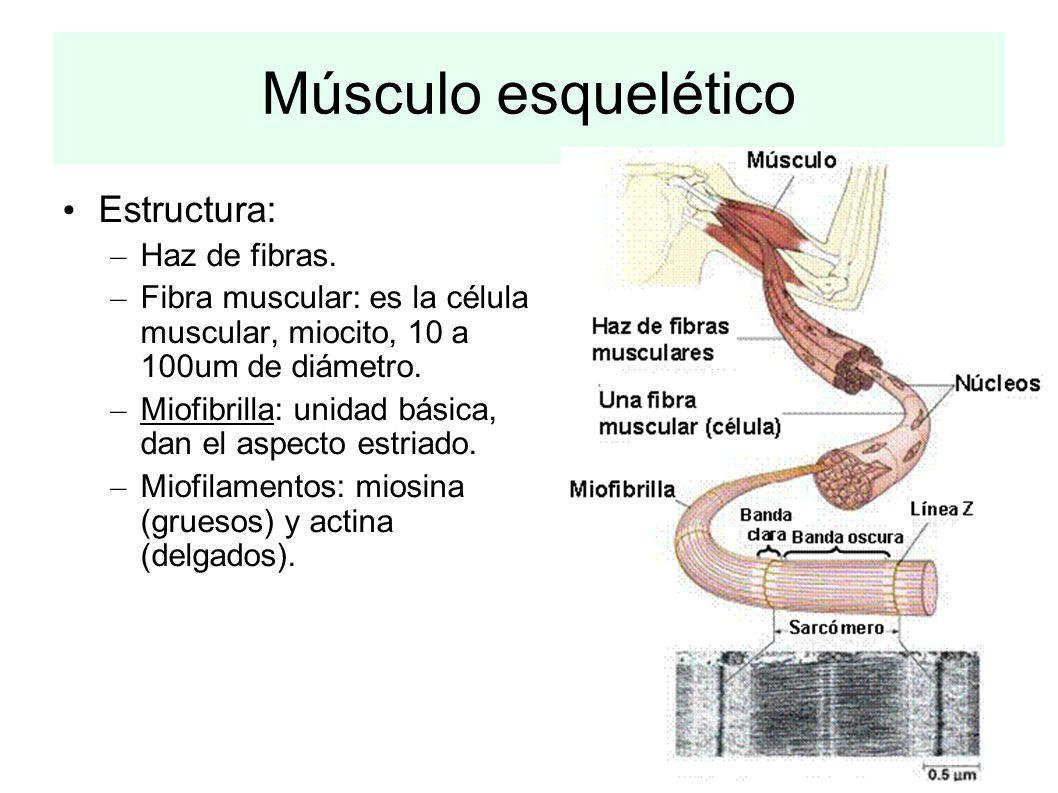 Músculo esquelético Estructura: Haz de fibras.