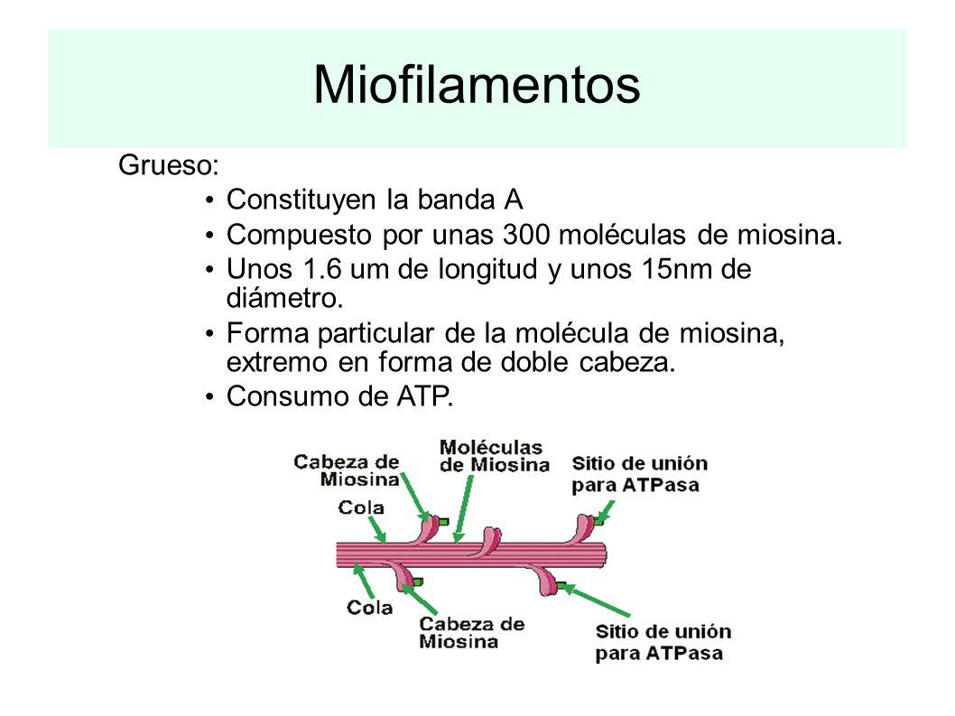 Miofilamentos Grueso: Constituyen la banda A