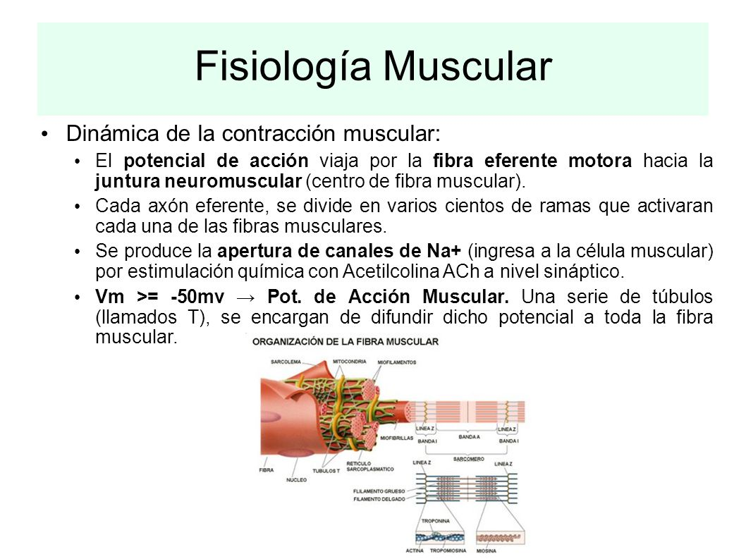 Fisiología Muscular Dinámica de la contracción muscular: