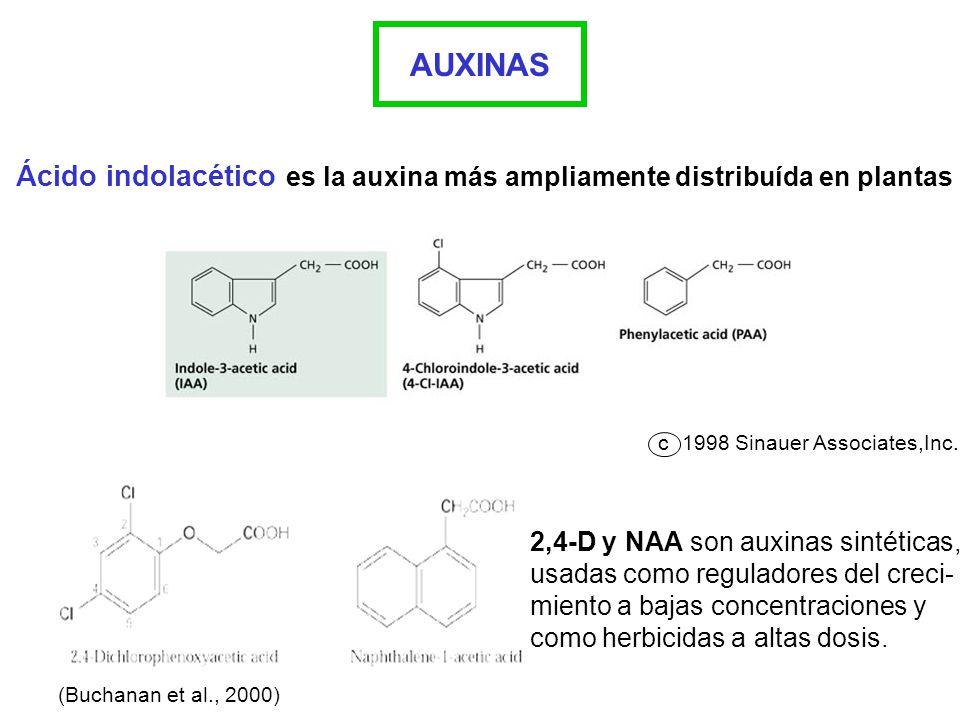 AUXINAS Ácido indolacético es la auxina más ampliamente distribuída en plantas. c. 1998 Sinauer Associates,Inc.