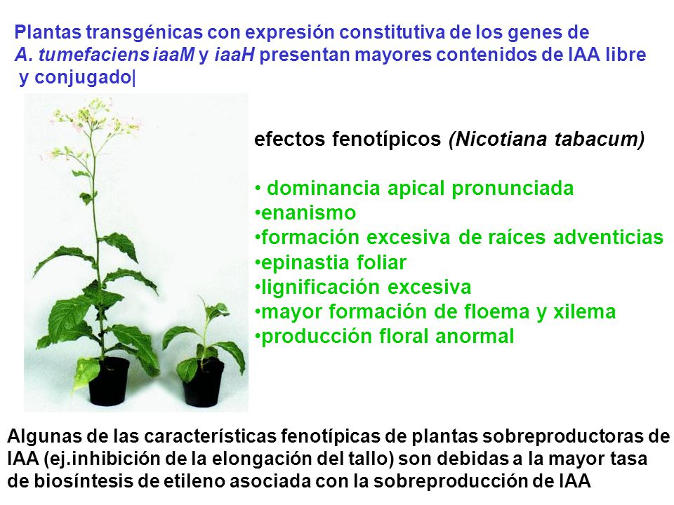 efectos fenotípicos (Nicotiana tabacum) dominancia apical pronunciada
