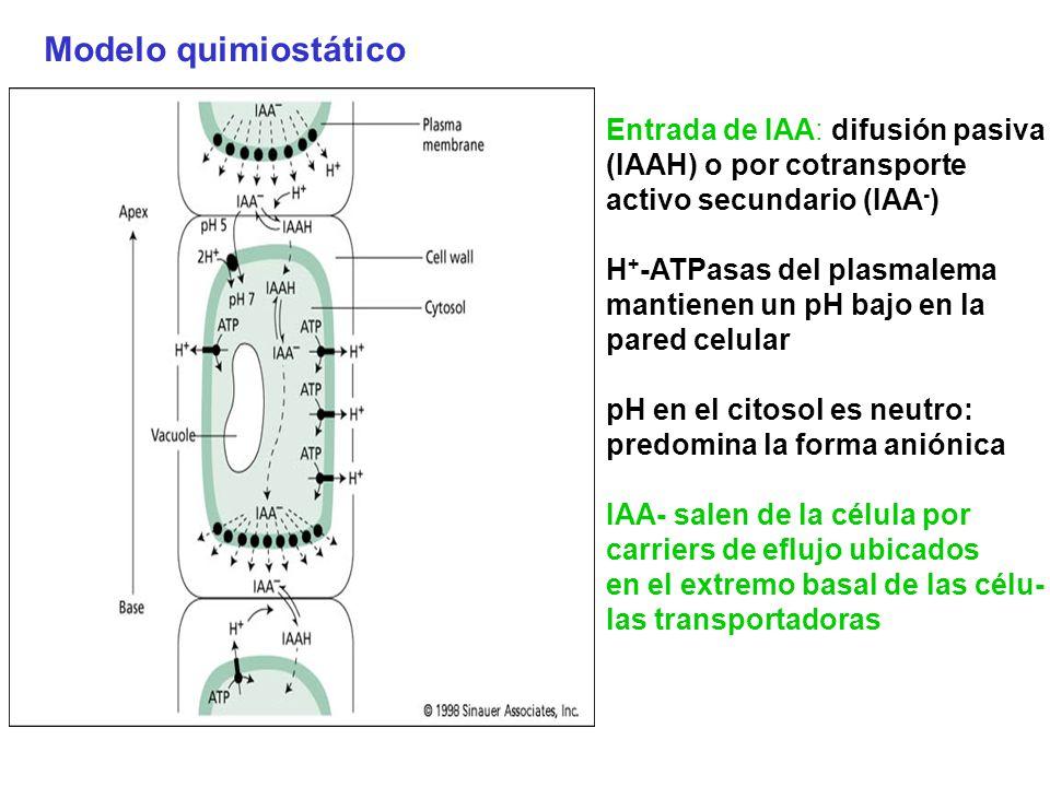 Modelo quimiostático Entrada de IAA: difusión pasiva