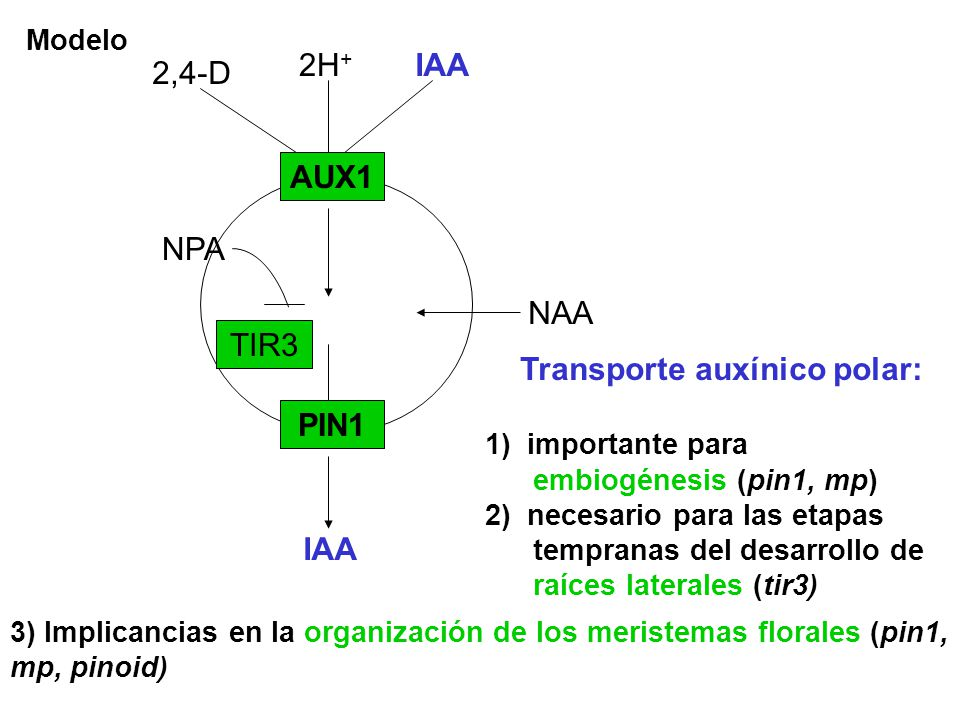 Transporte auxínico polar:
