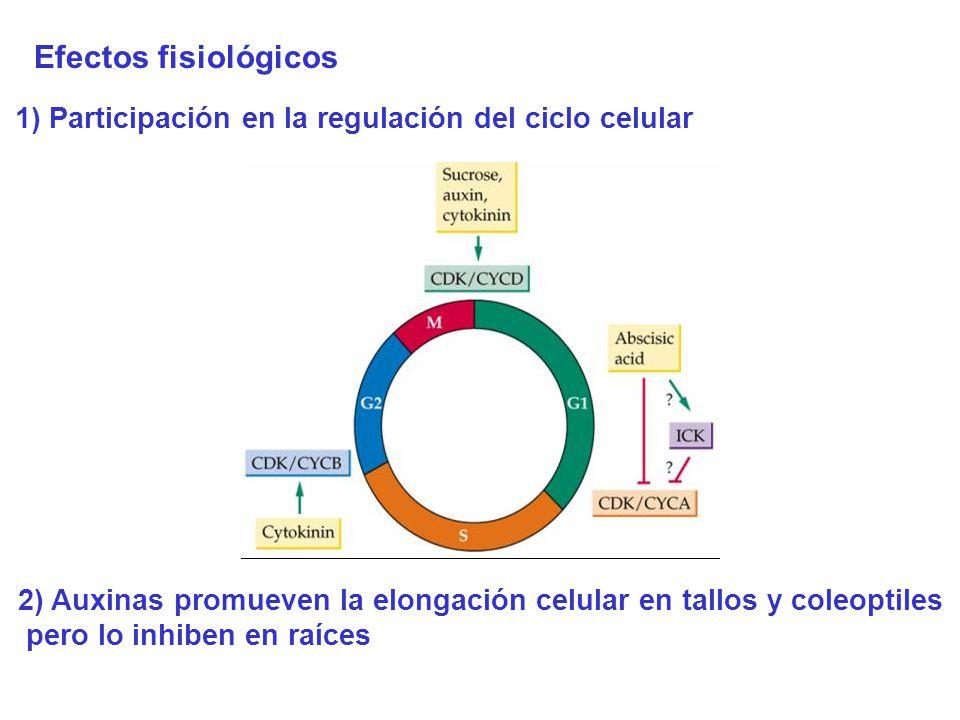 Efectos fisiológicos 1) Participación en la regulación del ciclo celular. 2) Auxinas promueven la elongación celular en tallos y coleoptiles.