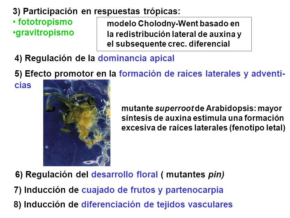 3) Participación en respuestas trópicas: fototropismo gravitropismo