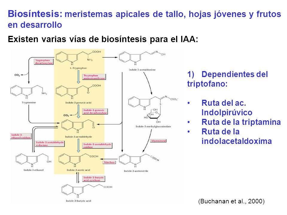 Biosíntesis: meristemas apicales de tallo, hojas jóvenes y frutos