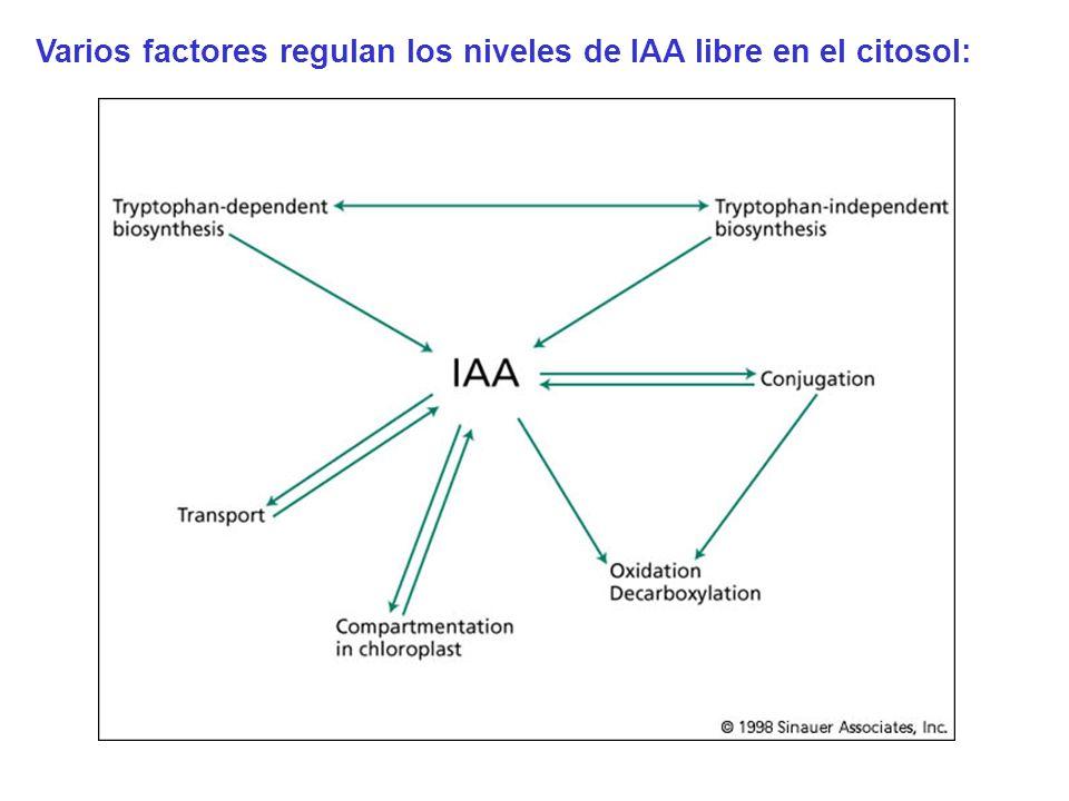 Varios factores regulan los niveles de IAA libre en el citosol: