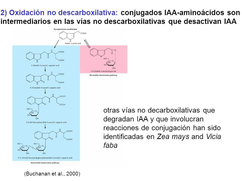 2) Oxidación no descarboxilativa: conjugados IAA-aminoácidos son