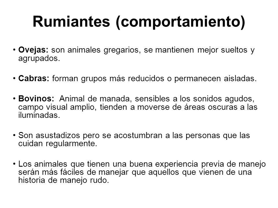 Rumiantes (comportamiento)