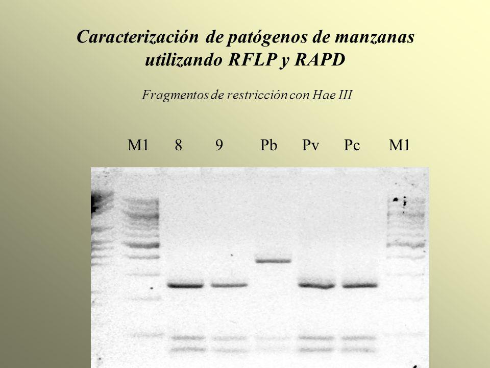 Caracterización de patógenos de manzanas utilizando RFLP y RAPD Fragmentos de restricción con Hae III