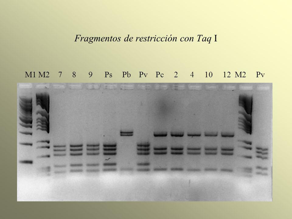Fragmentos de restricción con Taq I