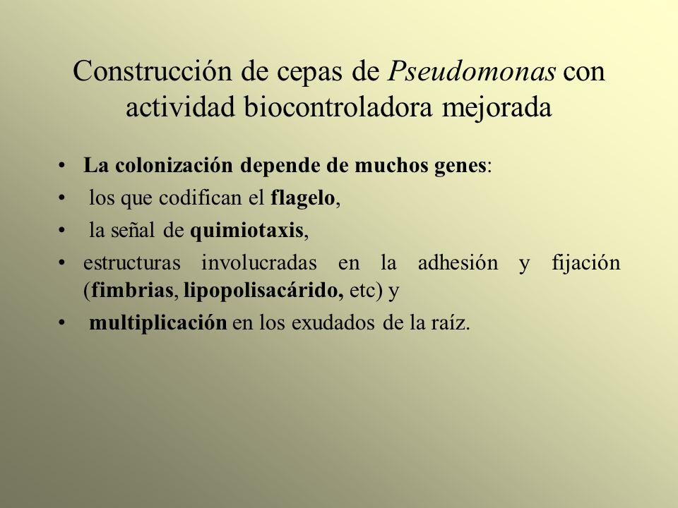 Construcción de cepas de Pseudomonas con actividad biocontroladora mejorada