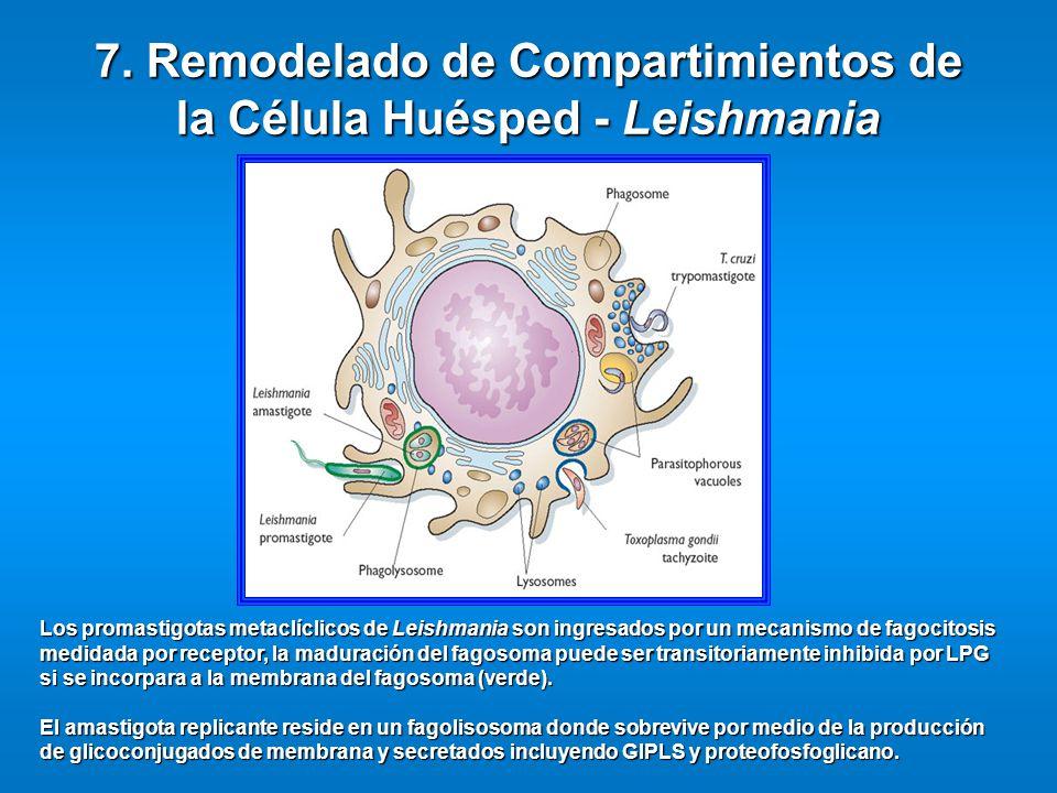 7. Remodelado de Compartimientos de la Célula Huésped - Leishmania