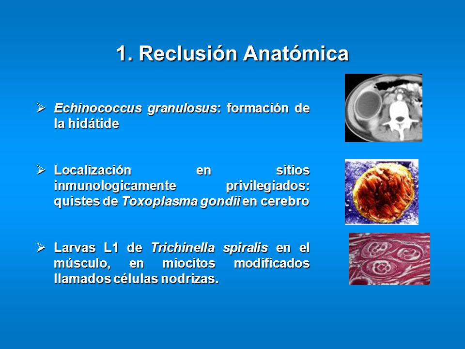 1. Reclusión Anatómica Echinococcus granulosus: formación de la hidátide.