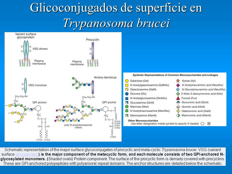 Glicoconjugados de superficie en Trypanosoma brucei