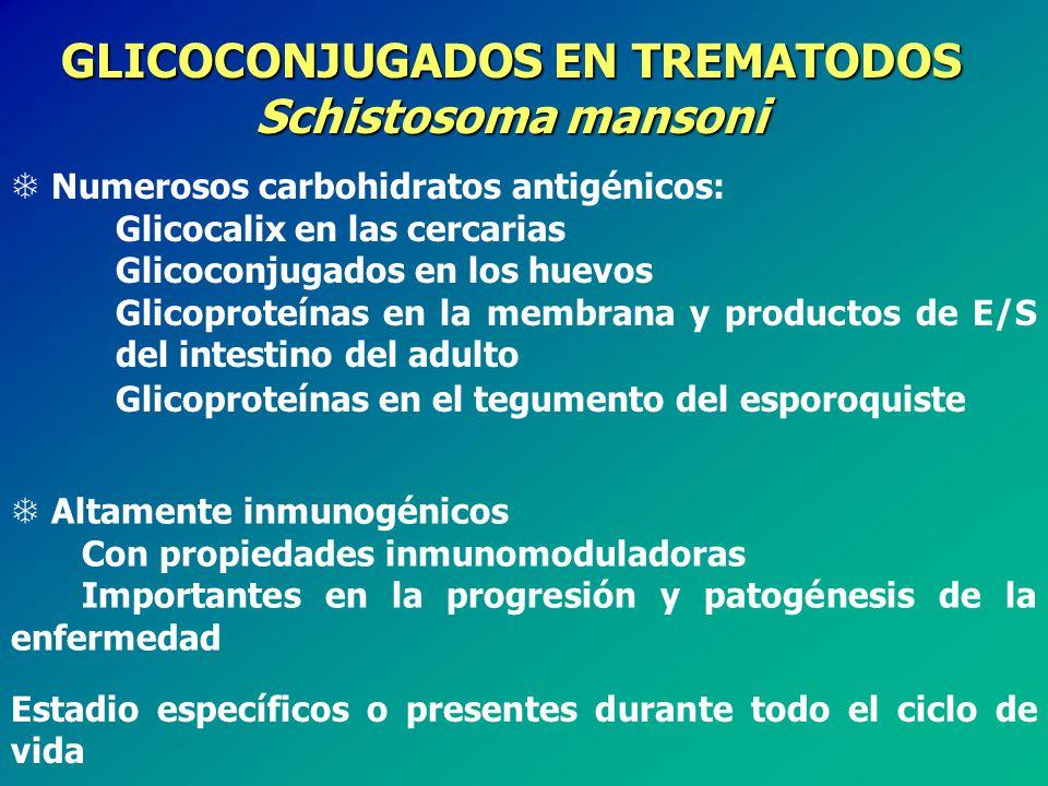 GLICOCONJUGADOS EN TREMATODOS Schistosoma mansoni