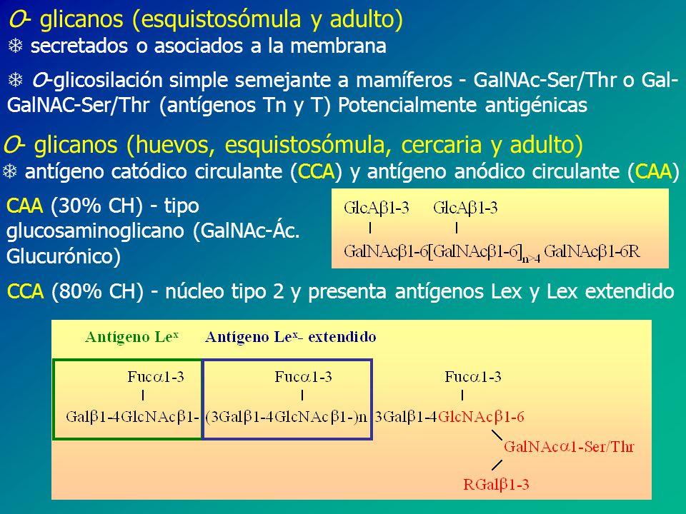 O- glicanos (esquistosómula y adulto)