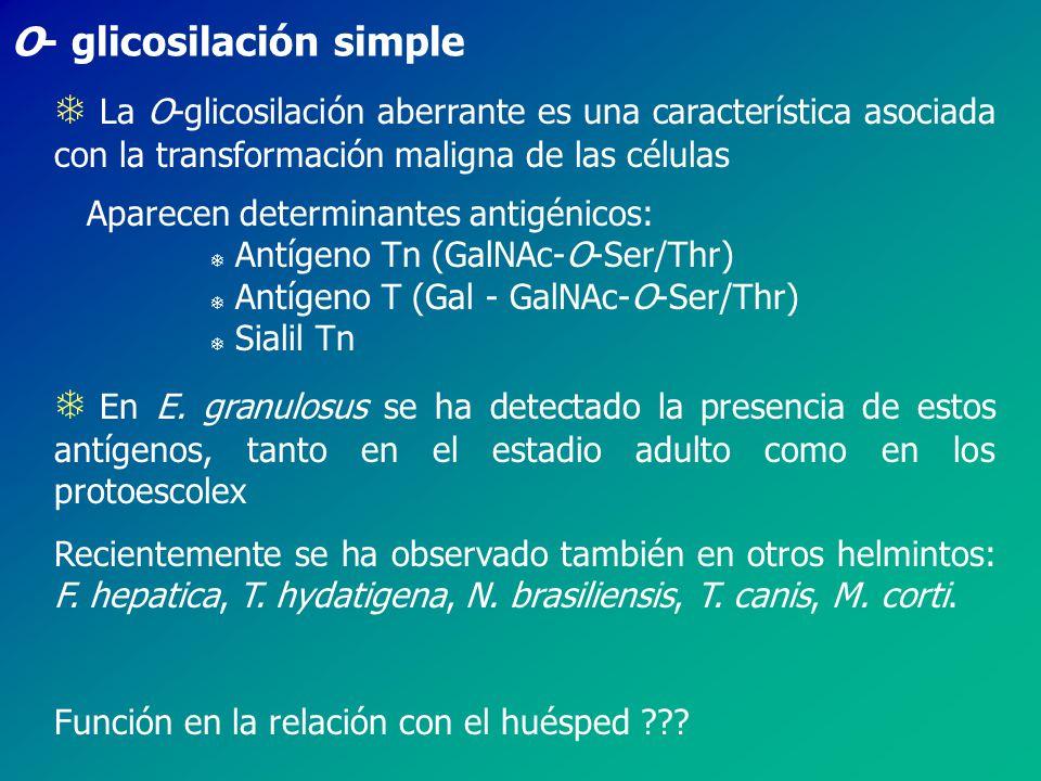 O- glicosilación simple
