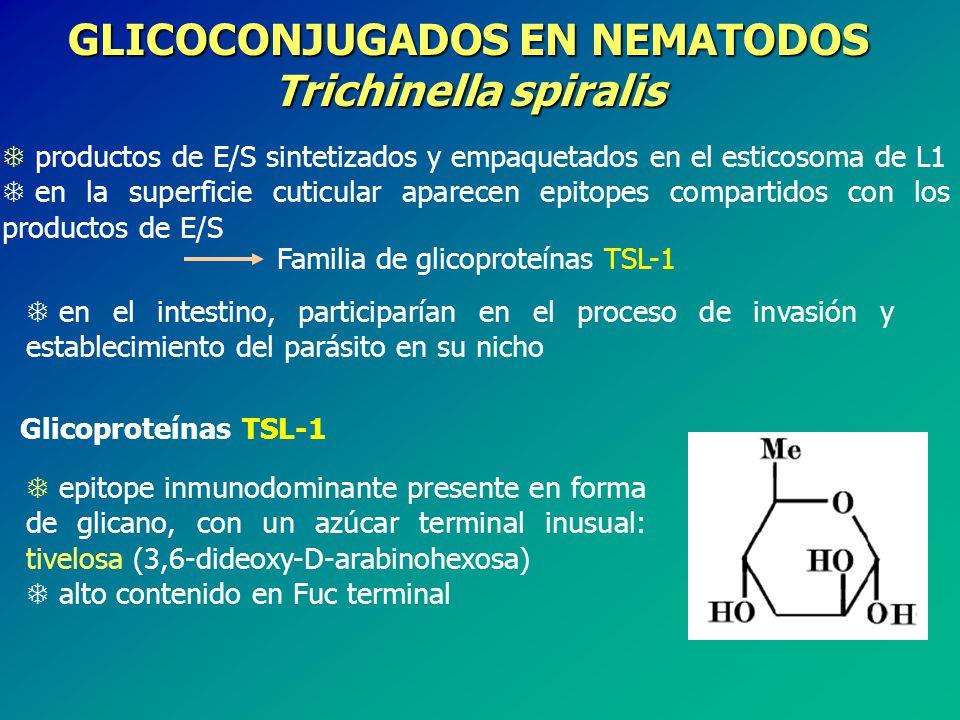 GLICOCONJUGADOS EN NEMATODOS Trichinella spiralis