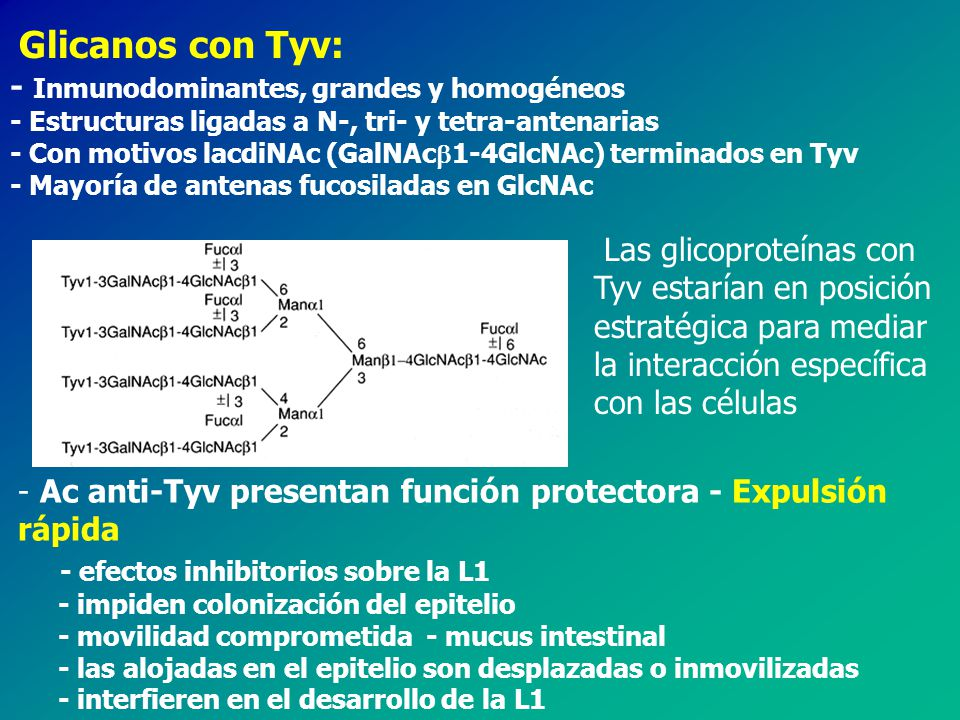 - Inmunodominantes, grandes y homogéneos