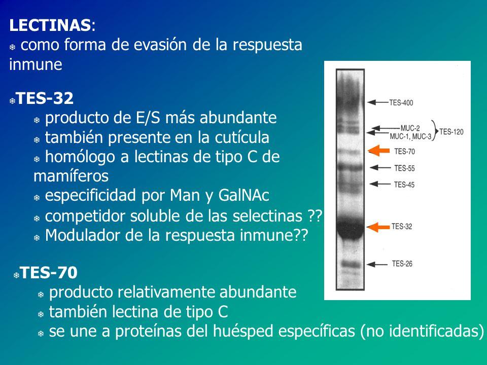 LECTINAS: como forma de evasión de la respuesta inmune. TES-32. producto de E/S más abundante. también presente en la cutícula.