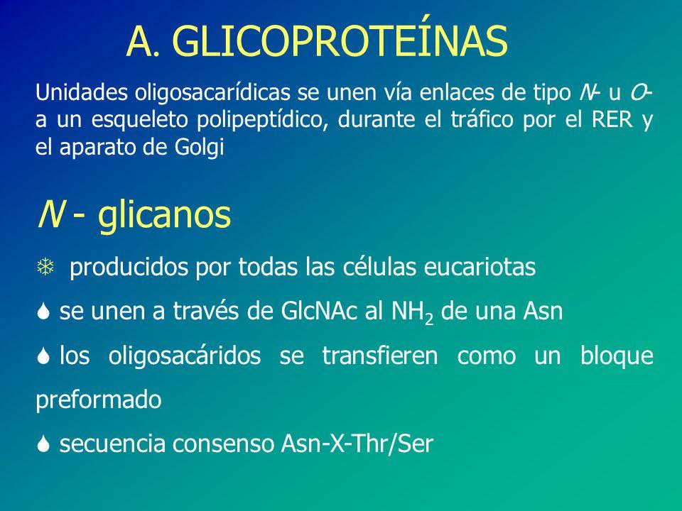 A. GLICOPROTEÍNAS N - glicanos