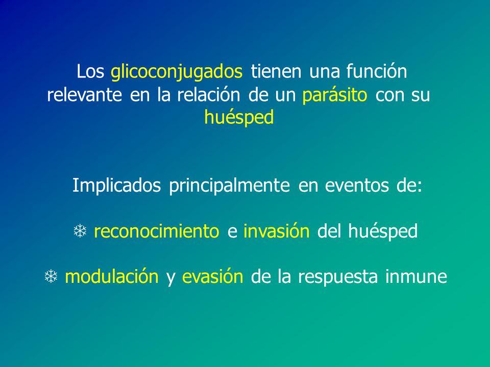 Los glicoconjugados tienen una función relevante en la relación de un parásito con su huésped
