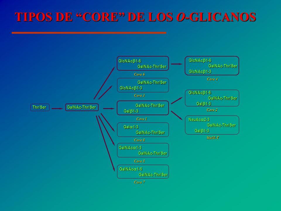 TIPOS DE CORE DE LOS O-GLICANOS