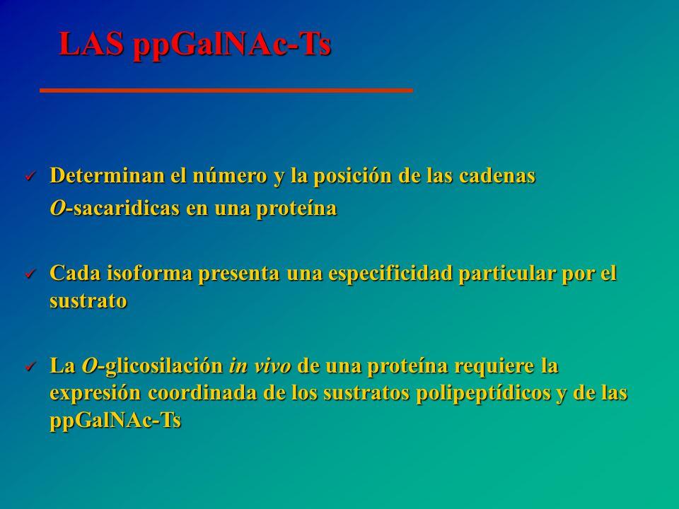 LAS ppGalNAc-Ts Determinan el número y la posición de las cadenas