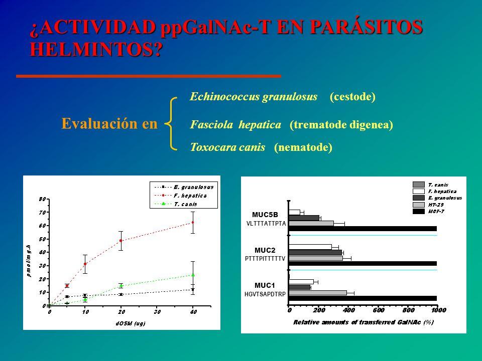 ¿ACTIVIDAD ppGalNAc-T EN PARÁSITOS HELMINTOS