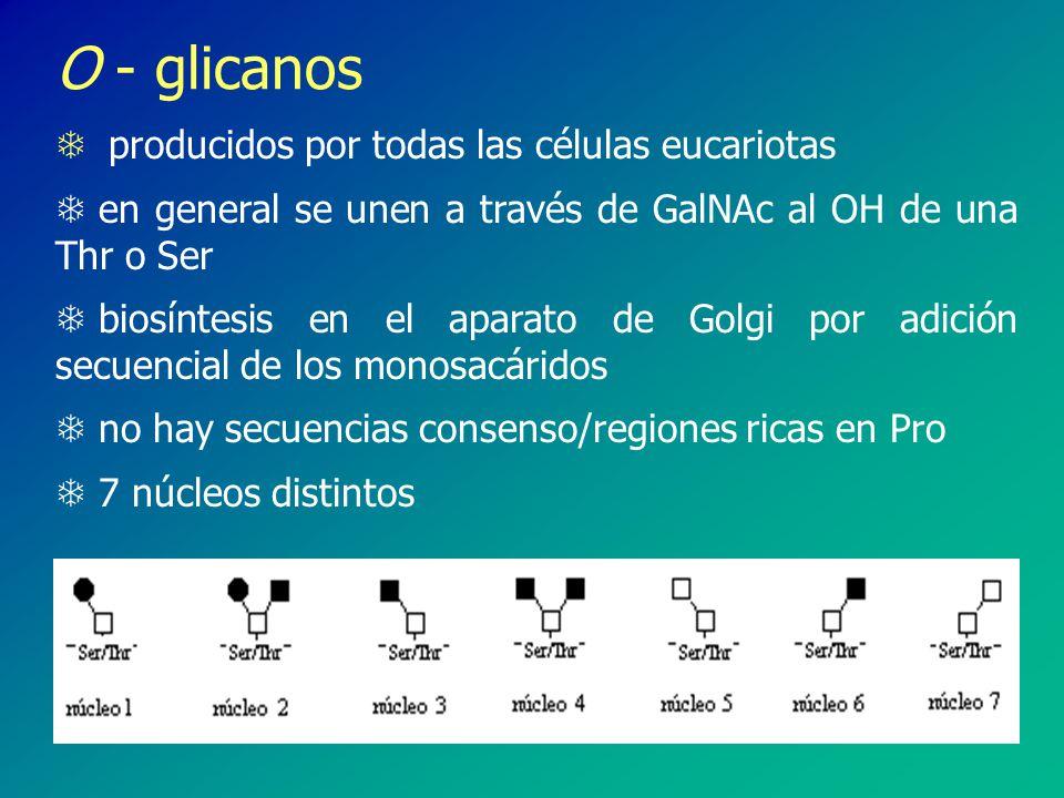 O - glicanos producidos por todas las células eucariotas. en general se unen a través de GalNAc al OH de una Thr o Ser.