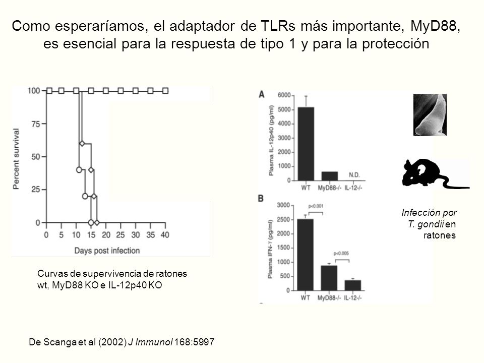 Como esperaríamos, el adaptador de TLRs más importante, MyD88, es esencial para la respuesta de tipo 1 y para la protección