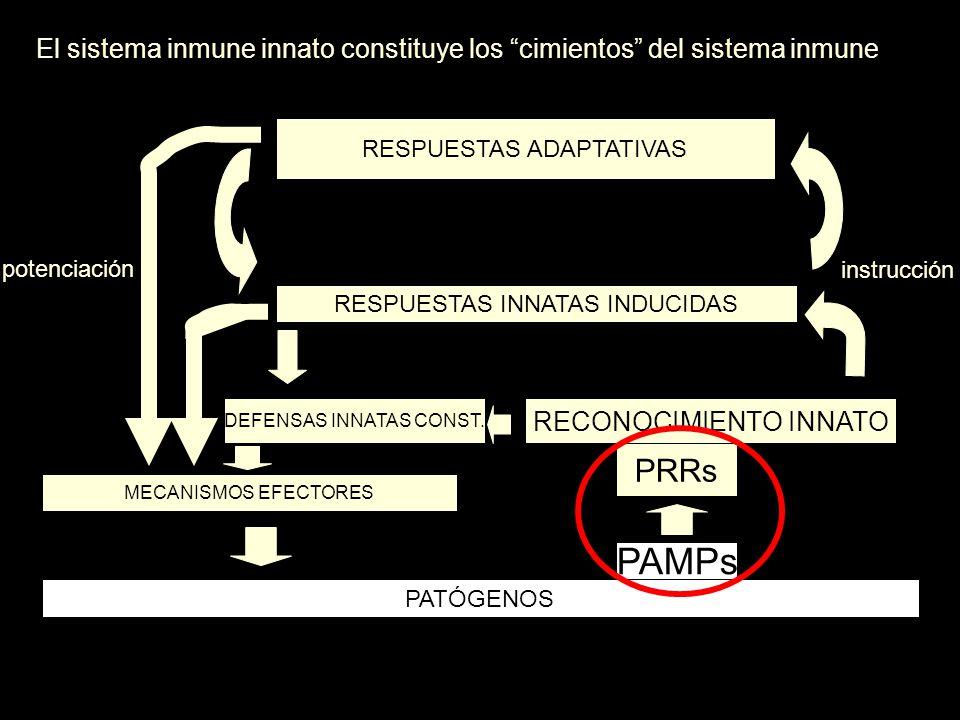 El sistema inmune innato constituye los cimientos del sistema inmune