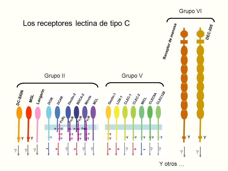Los receptores lectina de tipo C