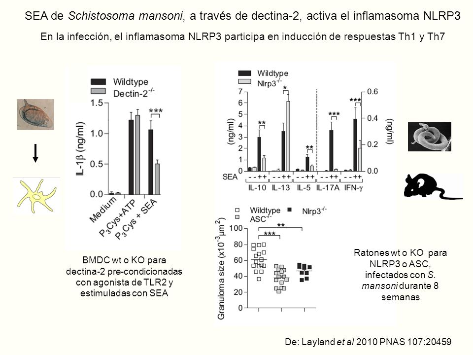 SEA de Schistosoma mansoni, a través de dectina-2, activa el inflamasoma NLRP3