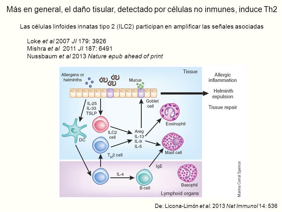 Más en general, el daño tisular, detectado por células no inmunes, induce Th2