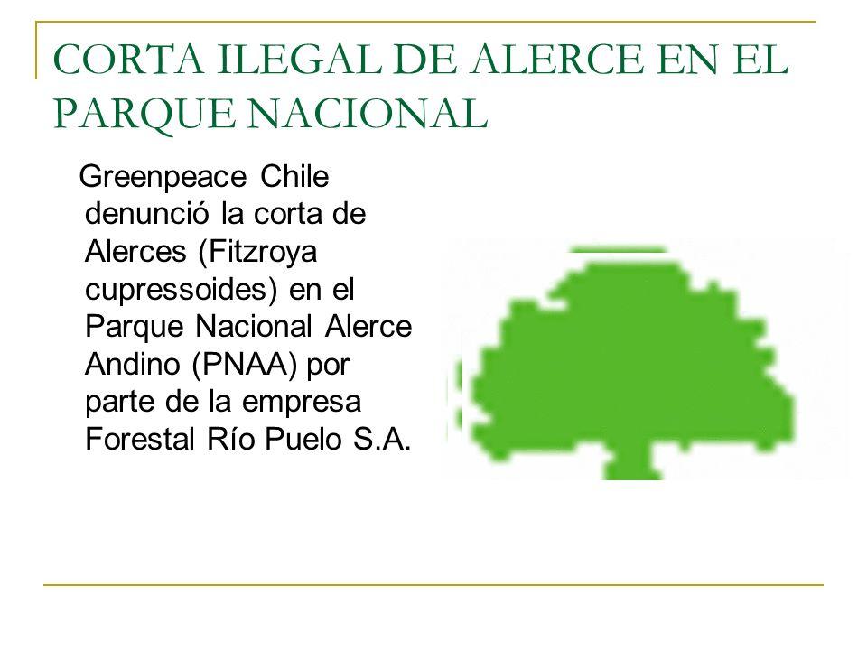 CORTA ILEGAL DE ALERCE EN EL PARQUE NACIONAL