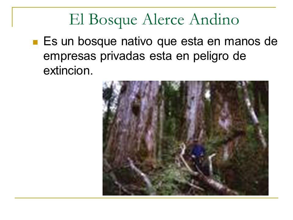 El Bosque Alerce Andino