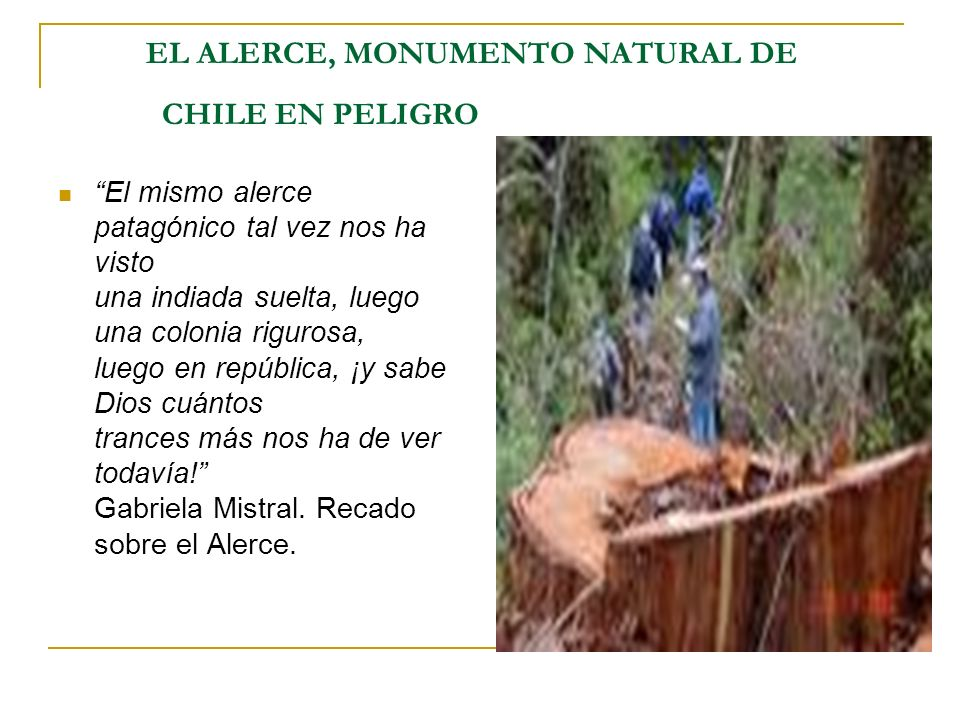 EL ALERCE, MONUMENTO NATURAL DE CHILE EN PELIGRO