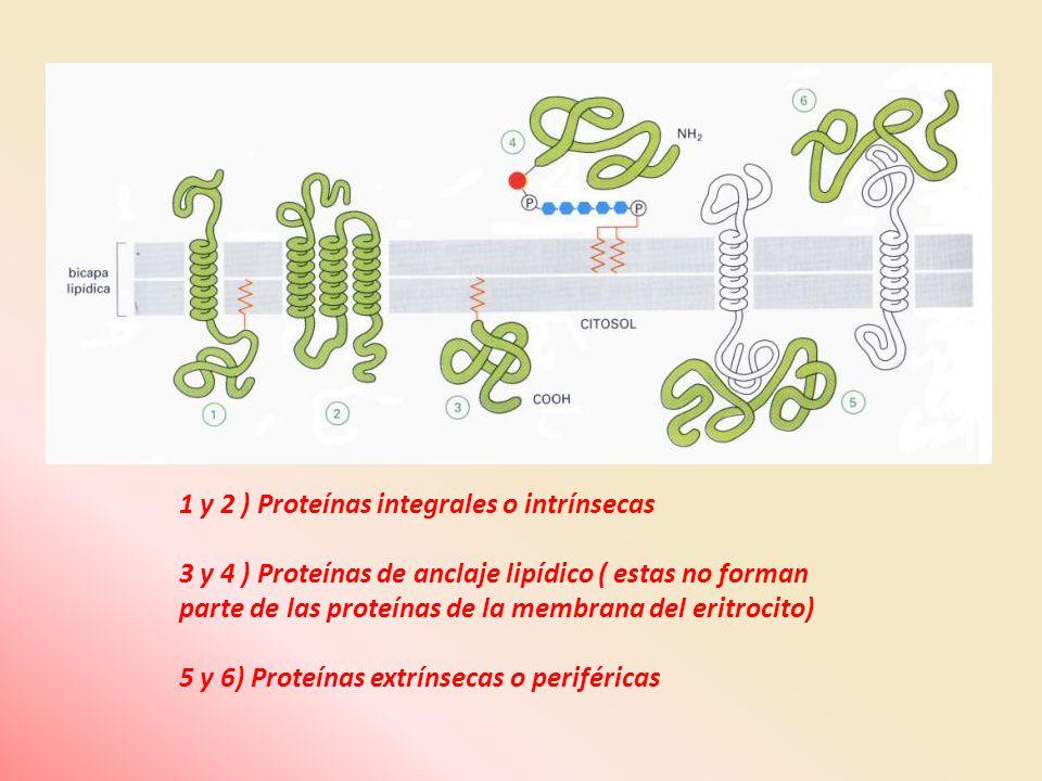 1 y 2 ) Proteínas integrales o intrínsecas