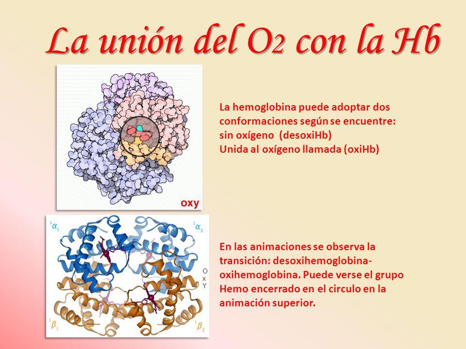 La unión del O2 con la Hb La hemoglobina puede adoptar dos conformaciones según se encuentre: sin oxígeno (desoxiHb)