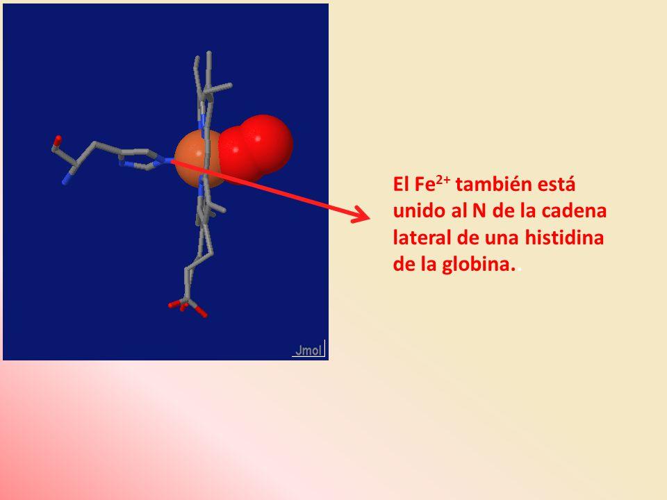 El Fe2+ también está unido al N de la cadena lateral de una histidina de la globina..