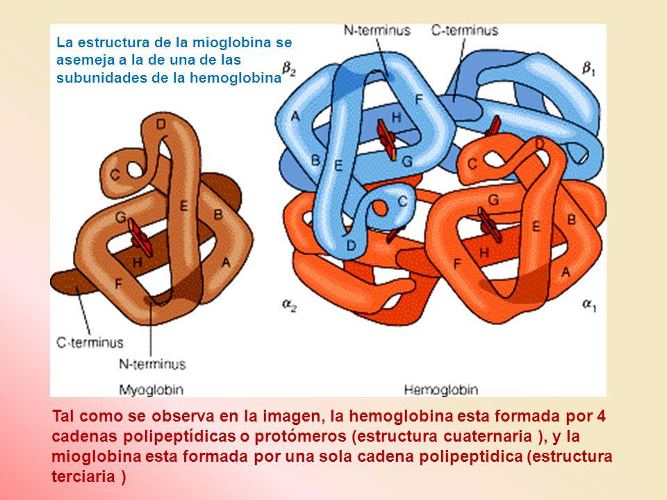 La estructura de la mioglobina se asemeja a la de una de las subunidades de la hemoglobina