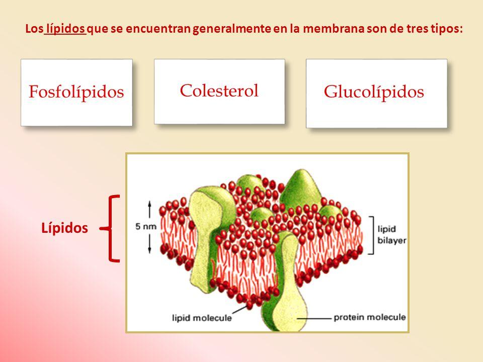 Fosfolípidos Colesterol Glucolípidos Lípidos
