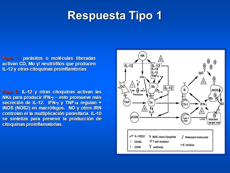 Paso 1: parásitos o moléculas liberadas activan CD, Mo y/ neutrófilos que producen IL-12 y otras citoquinas proinflamtorias.