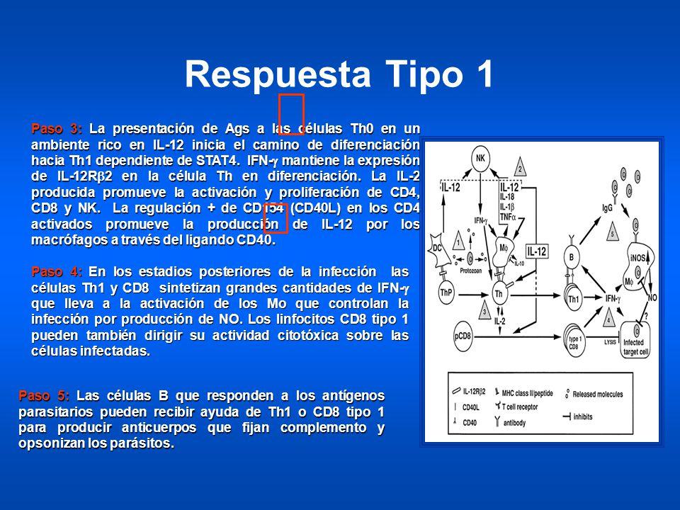 Paso 3: La presentación de Ags a las células Th0 en un ambiente rico en IL-12 inicia el camino de diferenciación hacia Th1 dependiente de STAT4. IFN-g mantiene la expresión de IL-12Rb2 en la célula Th en diferenciación. La IL-2 producida promueve la activación y proliferación de CD4, CD8 y NK. La regulación + de CD154 (CD40L) en los CD4 activados promueve la producción de IL-12 por los macrófagos a través del ligando CD40.