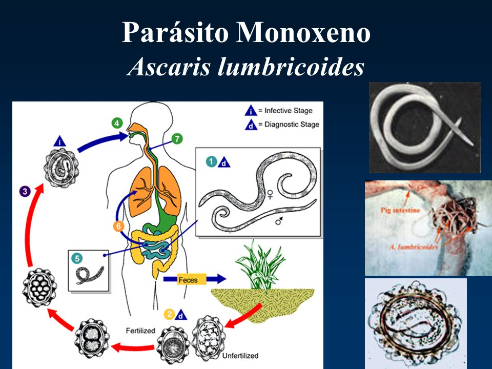 Parásito Monoxeno Ascaris lumbricoides